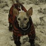 Hey! I'm A Hairless Chihuahua