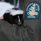 Petunia the Skunk-from the Muskoka Wildlife Cent